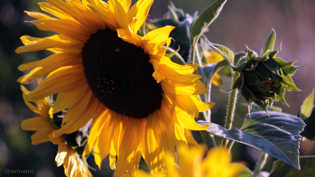 Heliotropismus am Beispiel der Sonnenblume