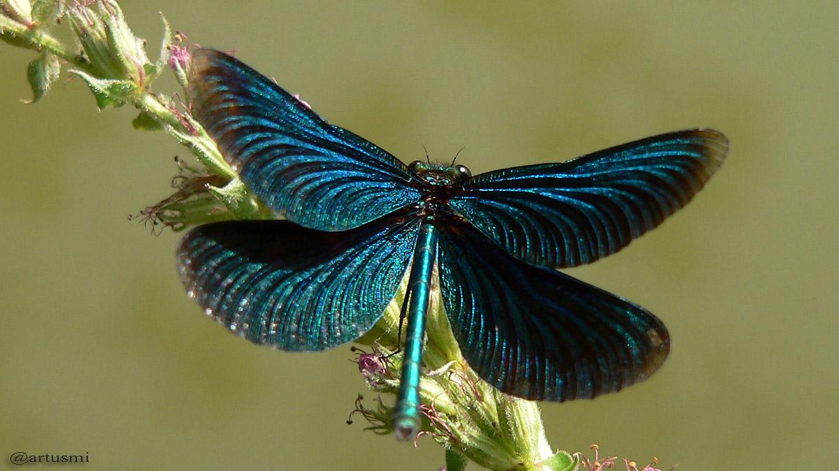 Blauflügel-Prachtlibelle präsentiert sich mit geöffneten Flügeln