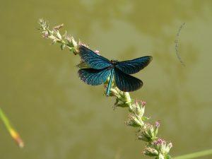 Blauflügel-Prachtlibelle (Calopteryx virgo) - 3. September 2005 um 14:44 Uhr
