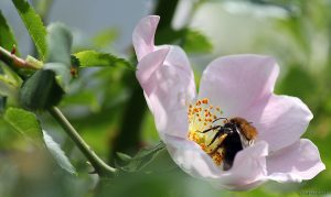 Hummel auf Blüte der Hunds-Rose (Rosa canina) - 28. Mai 2015