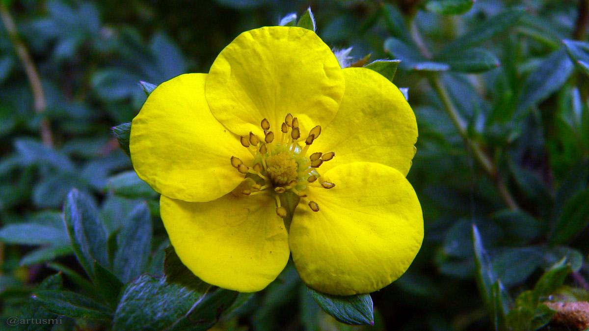 Gelbe Blüte des Fingerstrauchs