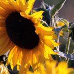 Heliotropismus am Beispiel der Sonnenblume - 16.09.2012, 18:42 Uhr