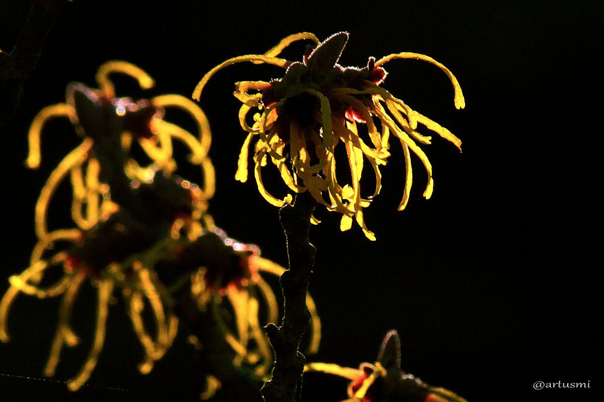 Blüten der Chinesischen Zaubernuss (Hamamelis mollis) - 12. Januar 2014