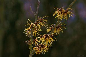 Blüten der Chinesischen Zaubernuss (Hamamelis mollis) - 3. März 2015