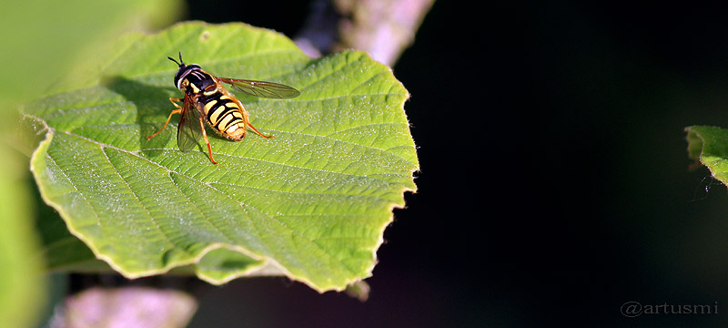 Männchen der Gemeinen Wespenschwebfliege (Chrysotoxum cautum) auf Blatt einer chinesischen Zaubernuss (Hamamelis mollis)