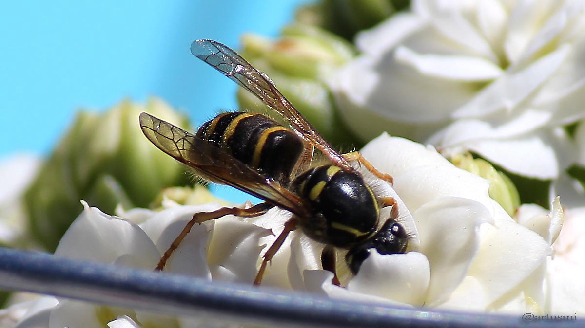 Nektar sammelnde Wespe auf unserer Terrasse