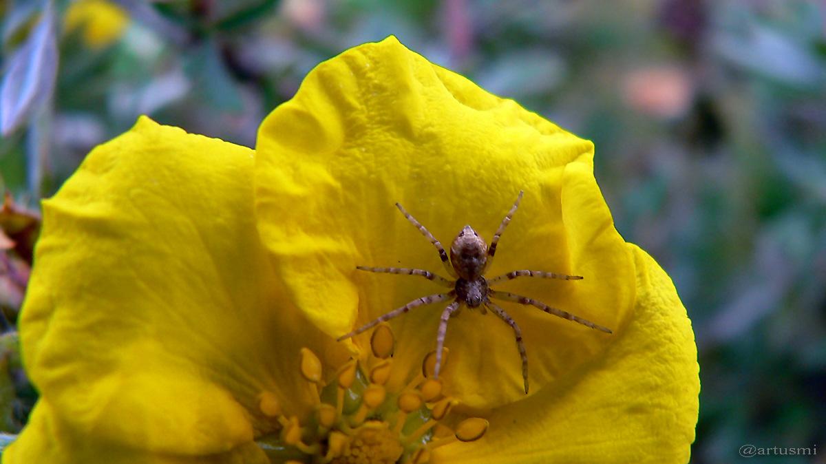Krabbenspinne auf Blüte des Fingerstrauchs