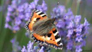 Kleiner Fuchs (Aglais urticae) auf Lavendelblüten - 16. Juni 2014