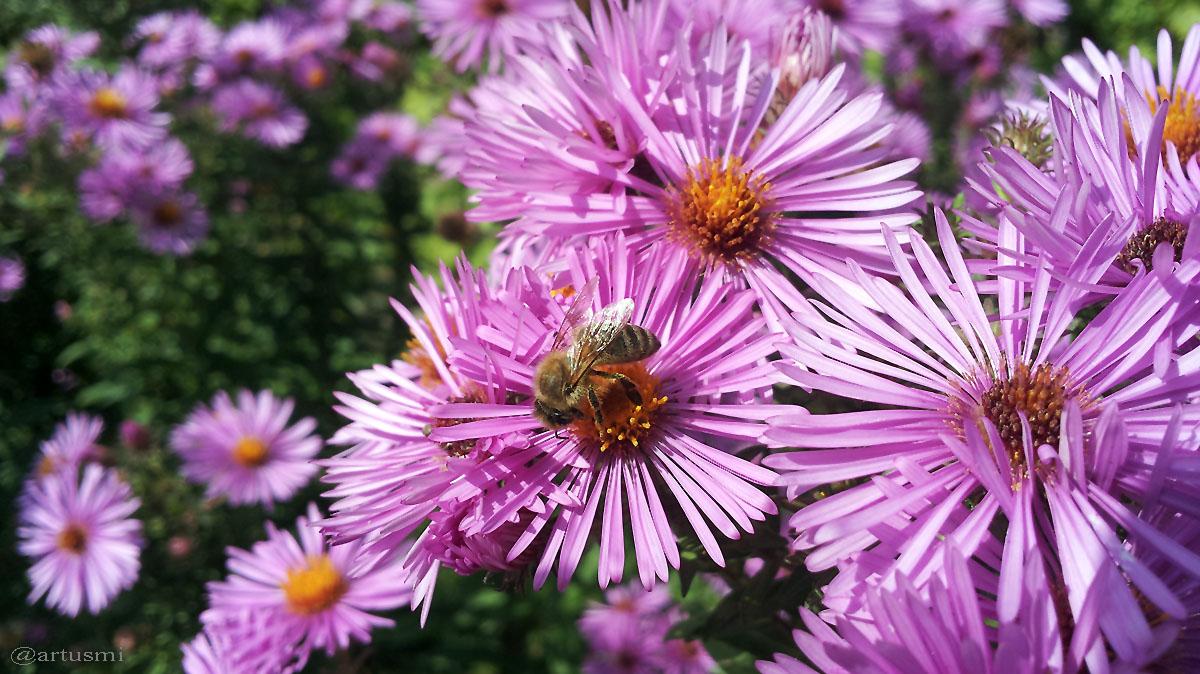 Honigbiene auf Neubelgischer Aster (Aster novi-belgii) - 21. September 2015