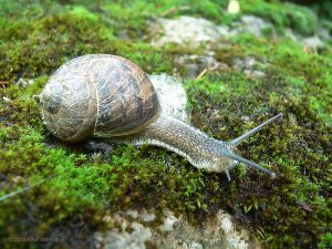 Gefleckte Weinbergschnecke (Cornu aspersum) am 14. August 2010 um 12:15 Uhr