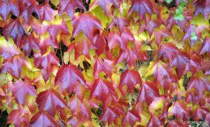Herbstlaub der Dreispitzigen Jungfernrebe