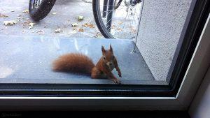 Eichhörnchen (Sciurus vulgaris) hinter Glas