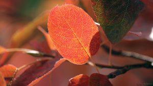 Herbstlaub der Kupfer-Felsenbirne (Amelanchier lamarckii)