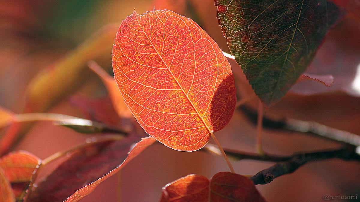 Herbstlaub der Kupfer-Felsenbirne