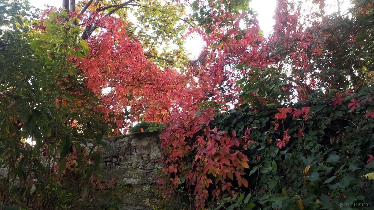 Herbstlaub der Selbstkletternden Jungfernrebe