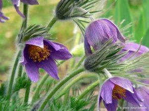 Blüten der Gewöhnlichen Kuhschelle (Pulsatilla vulgaris) am 12. April 2005 um 14:43 Uhr
