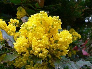Blüten der Gewöhnlichen Mahonie (Mahonia aquifolium) am 17. April 2005 um 15:05 Uhr