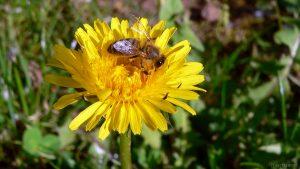Honigbiene auf Blüte des Gewöhnlichen Löwenzahns (Taraxacum sect. Ruderalia) - 28. April 2005 um 17:10 Uhr