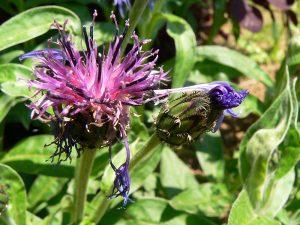 Blüten der Blauen Berg- oder Alpenflockenblume (Centaurea montana) am 19. Mai 2005 um 12:59 Uhr