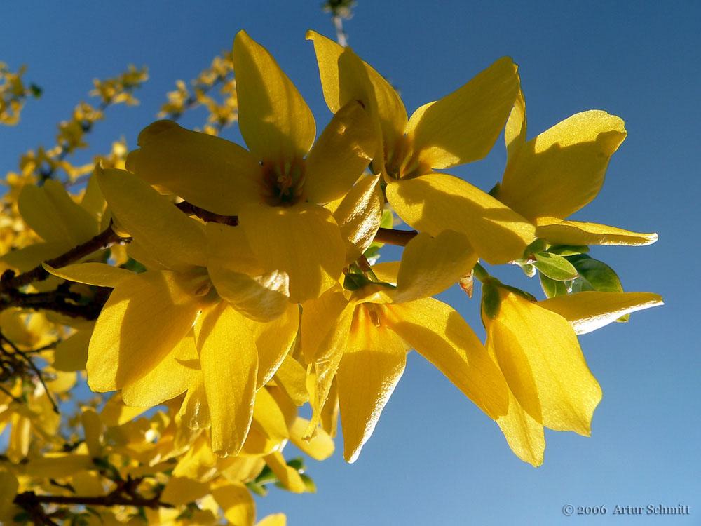 Blüten der Forsythie (Forsythia) am 23. April 2006 um 15:39 Uhr
