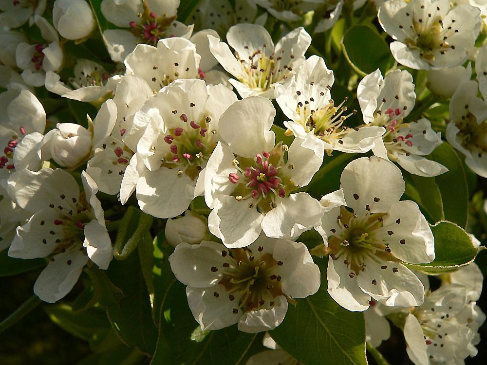 Blüten der Williams Christ Birne am 3. Mai 2006 um 10:00 Uhr