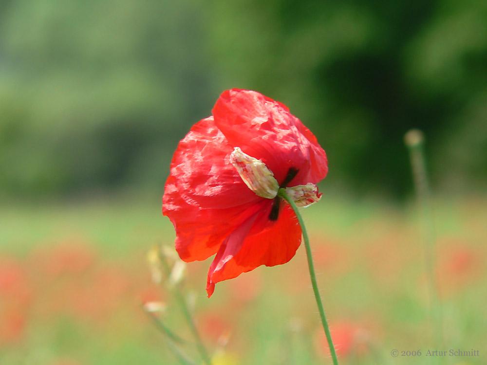Blüte des Klatschmohns (Papaver rhoeas) am 10. Juni 2006 um 12:22 Uhr