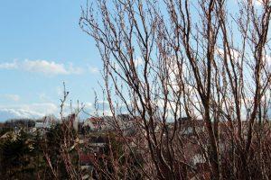 Japanische Säulenkirsche (Prunus serrulata 'Amanogawa') am 7. Dezember 2011 um 14:25 Uhr