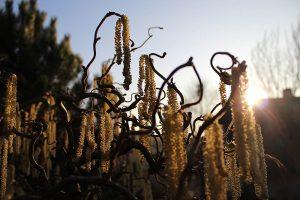 Blüten der Korkenzieherhasel (Corylus avelana 'CONTORTA') am 16. März 2012 um 17:22 Uhr