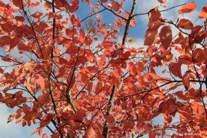 Herbstlaub der Gewöhnlichen Felsenbirne (Amelanchier ovalis) am 13. Oktober 2013 um 15:45 Uhr
