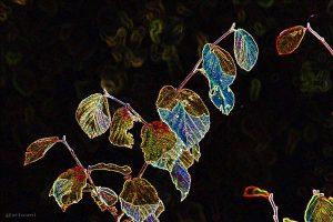 Herbstlaub der Chinesischen Zaubernuss (Hamamelis mollis) am 14. Oktober 2014 um 15:58 Uhr