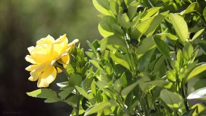 Rosenblüte an Orangenbäumchen - Eine Laune der Natur? - 30. August 2015 um 13:00 Uhr
