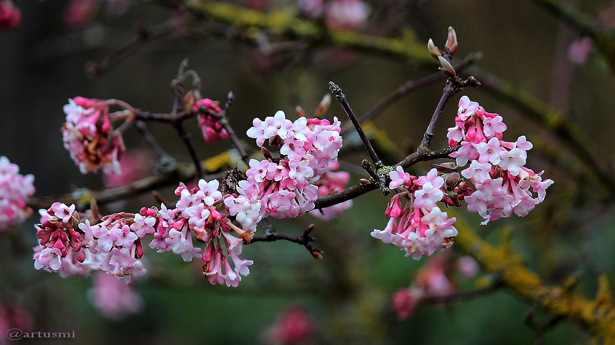 Blüten des Winterschneeballs