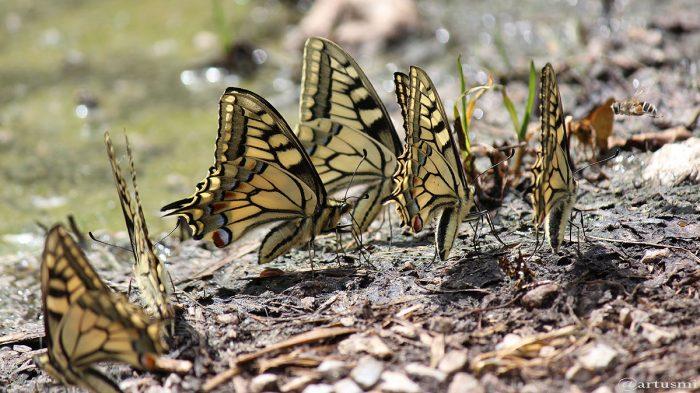 Schwalbenschwanz (Papilio machaon) - 21. Juni 2013 um 14:00 Uhr