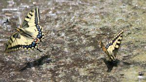 Schwalbenschwanz (Papilio machaon) - 21. Juni 2013 um 14:02 Uhr