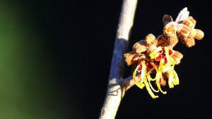 Blüten der Chinesischen Zaubernuss (Hamamelis mollis) - 29. Januar 2016 um 15:31 Uhr