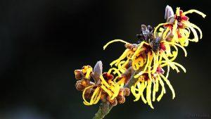 Blüten der Chinesischen Zaubernuss (Hamamelis mollis) mit Fliege