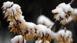 Schnee auf den Blüten der Chinesischen Zaubernuss (Hamamelis mollis) am 23. Februar 2016