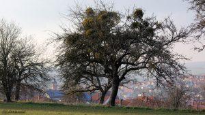 Misteln auf Apfelbaum - 8. März 2016 um 17:19 Uhr