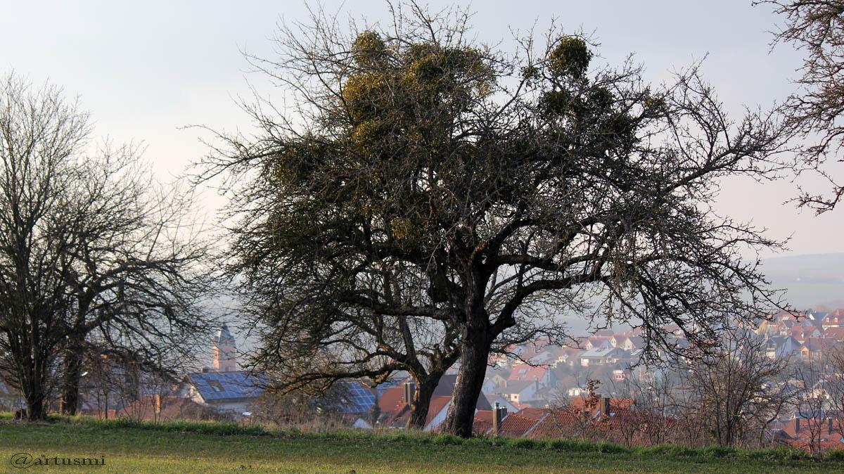 Weißbeerige Mistel auf Apfelbaum