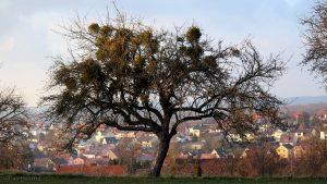 Misteln auf Apfelbaum - 8. März 2016 um 17:23 Uhr