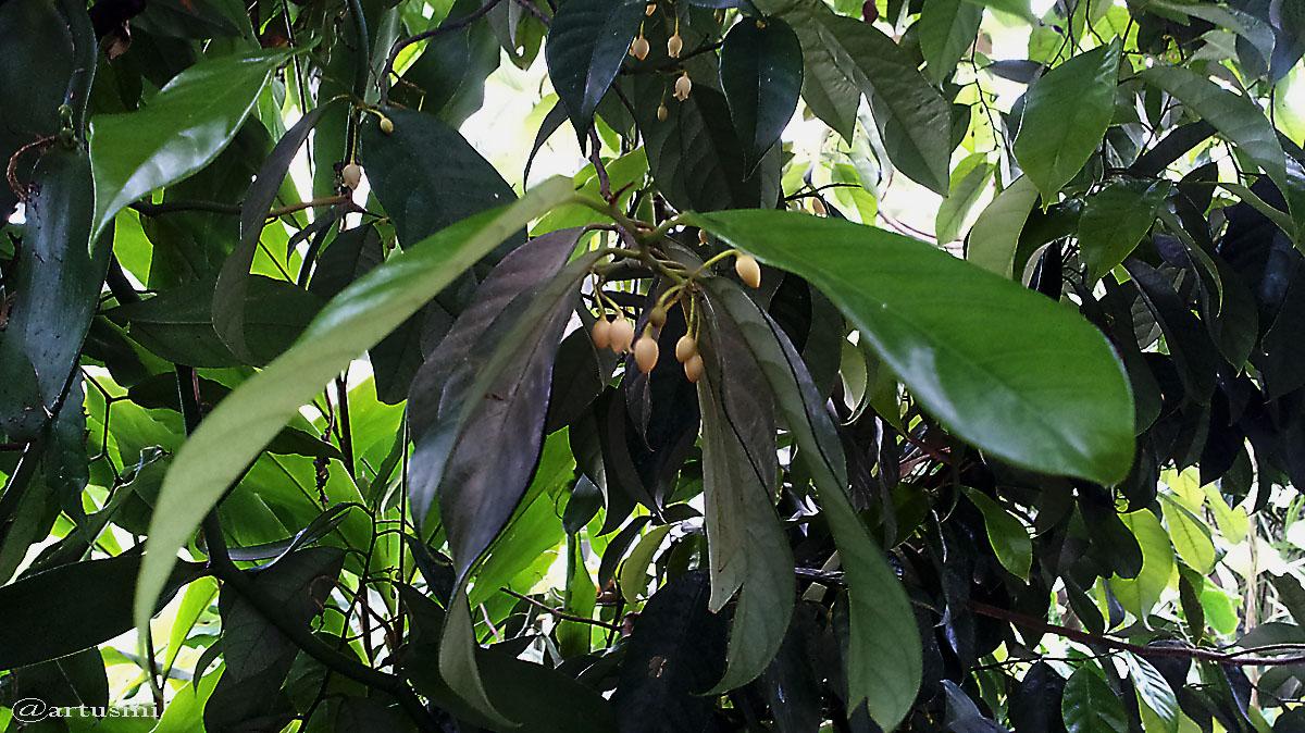 Blüten der Vanille (Vanilla planifolia)