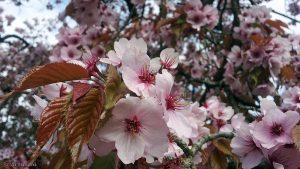 Blüten der Sargents-Kirsche (Prunus sargentii) - 19. April 2016 um 16:38 Uhr)