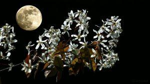 Mond und Blüten der Kupfer-Felsenbirne am 20. April 2016