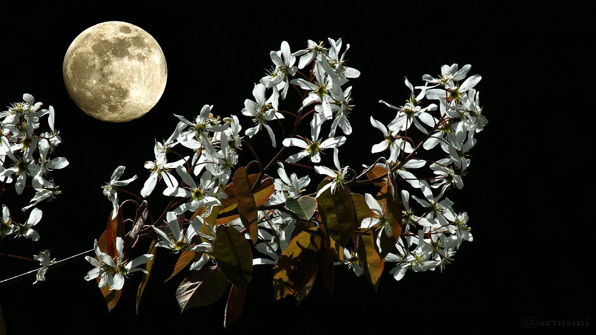 Mond mit Blüten der Kupfer-Felsenbirne (Amelanchier lamarckii)