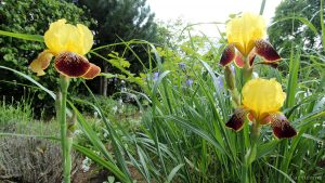 Blüten der Schwertlilie am 28. Mai 2016 um 15:34 Uhr