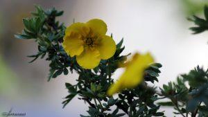Blüte des Fünffingerstrauchs am 13. Juni 2016 um 17:03 Uhr
