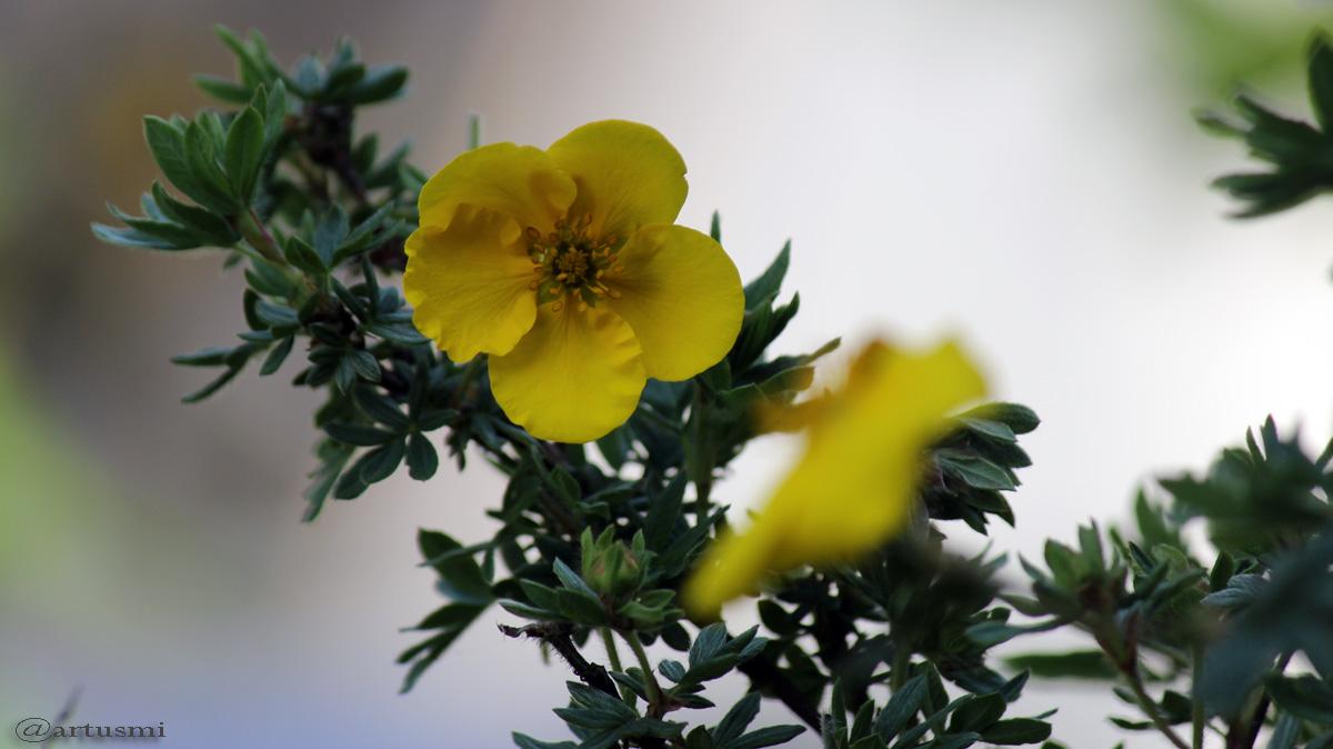 Gelbe Blüte des Fünffingerstrauchs
