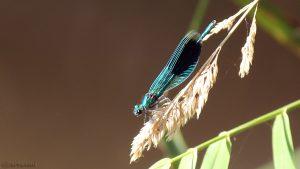 Gebänderte Prachtlibelle (Calopteryx splendens) am 7. September 2016 um 12:30 Uhr