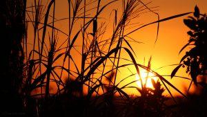 Silberfahnengras und untergehende Sonne am 29. September 2016 um 18:54 Uhr