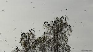 Stare im Flug und auf Birke - 14. Oktober 2016, 16:33 Uhr